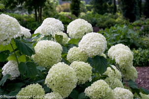 Growing Hardy Hydrangeas In Northern Canadian Gardens
